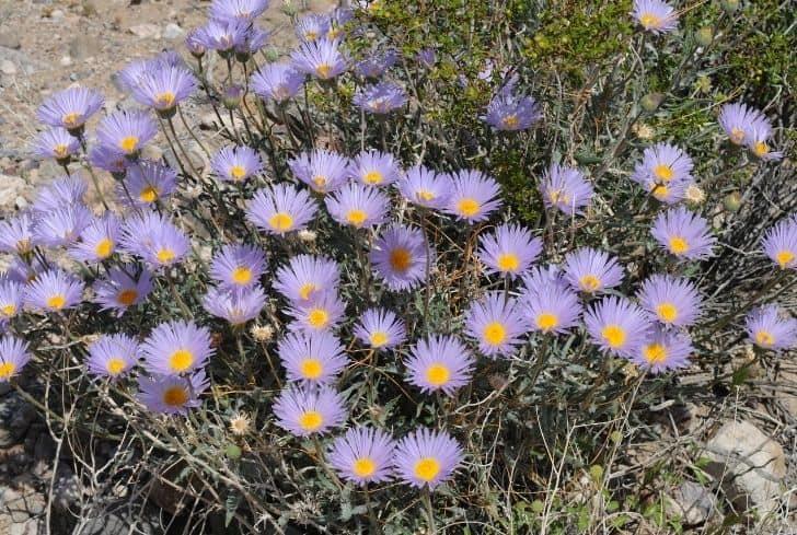 Mojave-aster