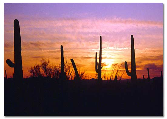 The Desert Cactus